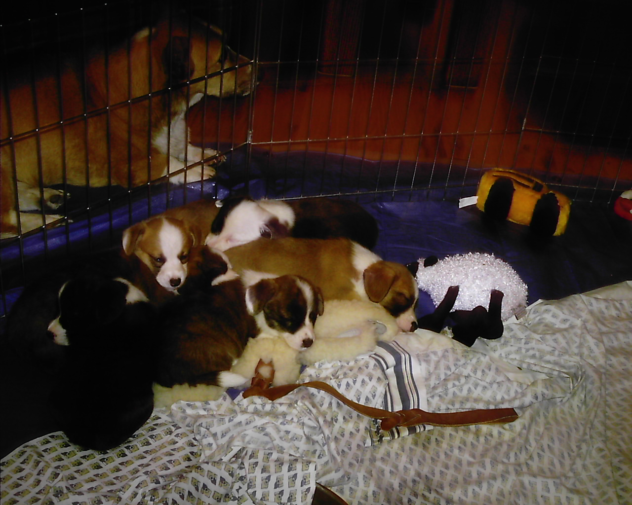 Corgi Puppies For Sale In Colorado. Here are Pip#39;s pups.